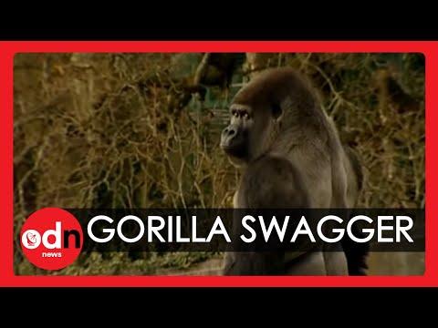 動物管理員告訴大家「這猩猩根本是人類」時沒人聽懂,直到看到畫面裡的牠居然用雙腿跑起來…