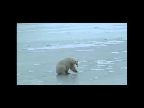 Polar Bear Plays Hockey On Ice, VERY FUNNY!!!!
