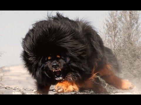 Video أشرس وأخطر أنواع الكلاب في العالم لعام 2017 download in MP3, 3GP, MP4, WEBM, AVI, FLV January 2017