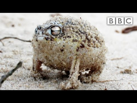 A tiny angry squeaking Frog 🐸 | Super Cute Animals - BBC