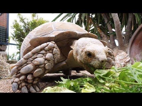 Tortues sillonnées du Mali de l'Île aux tortues