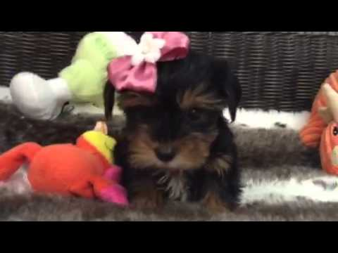 Sweet and Petite, female Yorkie puppy