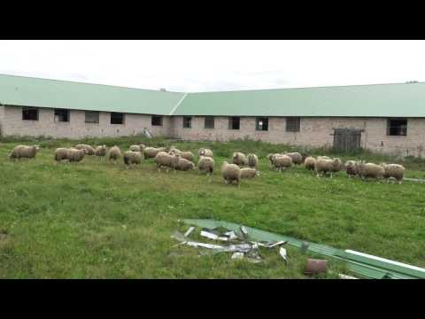 Фермер против Минсельхоза: бараны на ферме