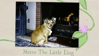 Metro the Little Dog