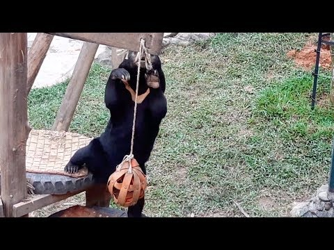 Clever little sun bear unties a knot to play