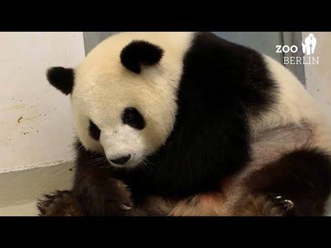 Berlin: Zoo freut sich über doppeltes Panda-Glück - P ...