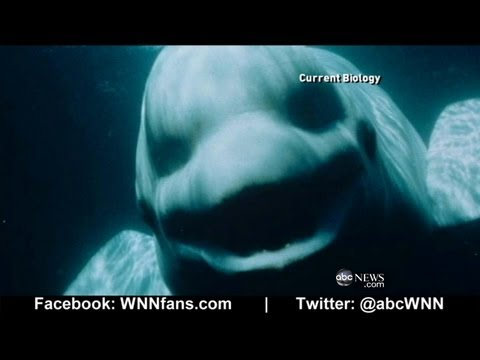 Beluga Whale Sounds Like a Human