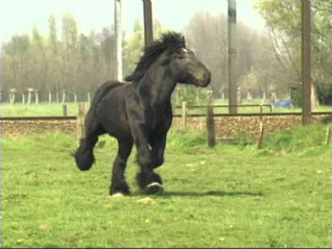 Simon van Straten - Belgian Draft Horse