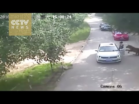 Shocking Tiger attack on a Woman who got out of her car in Beijing's Wildlife Park