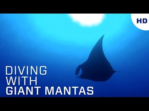 Diving with Giant Mantas HD – Bat Islands, Costa Rica