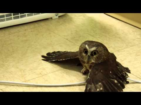 Saw-whet Owl is Just Chillllllin'!!!! (WATCH)
