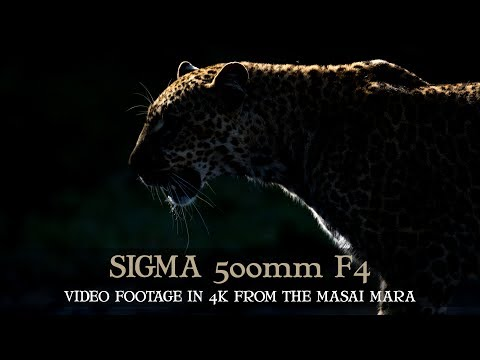 SIGMA 500mm F4 SPORTS - 4k FOOTAGE - MASAI MARA - AFRICA