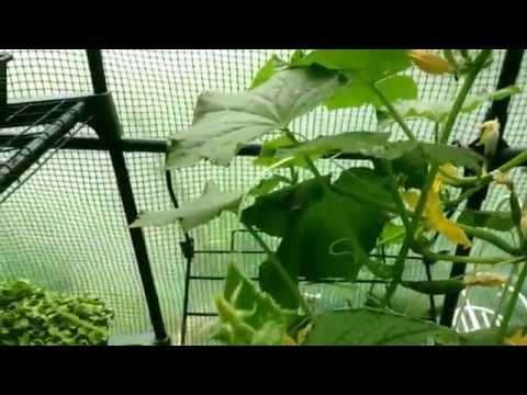 how to grow cucumber from a cucumber
