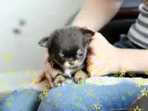 Teacup puppy for sale! Micro teacup chihuahua!