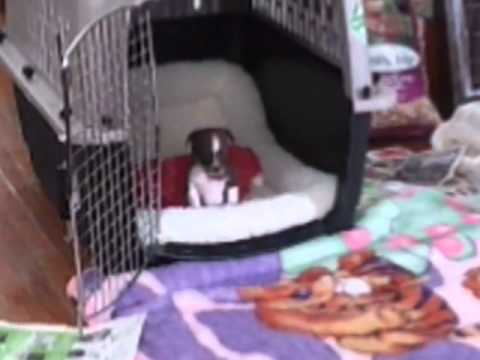 Baby chihuahua coming out the cage barking