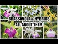 Download Lagu Specimen Brassavola & Crosses - ALL ABOUT THEM Mp3 Free