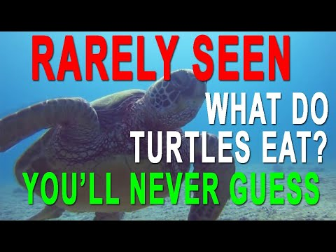 Hawaii Green Sea Turtle Eating