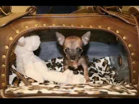 Tiny Chihuahua Continues Her Fight… Emma Is THRIVING!!