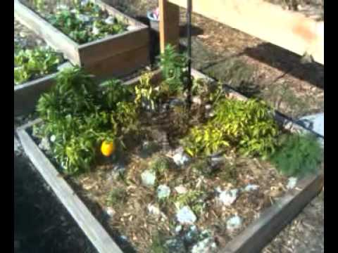 permaculture square foot gardening in raised beds 1st up date 11/30/2011