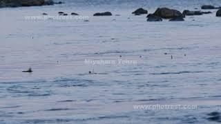 カラフトマスの遡上の動画素材, 4K写真素材