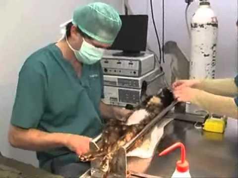 סרטון קצר על עיקור חתולה שמבוצע