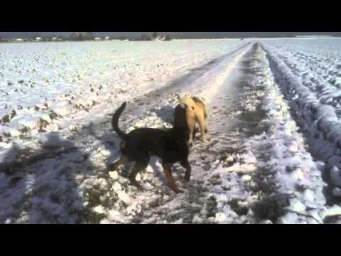 akita contro rottweiler