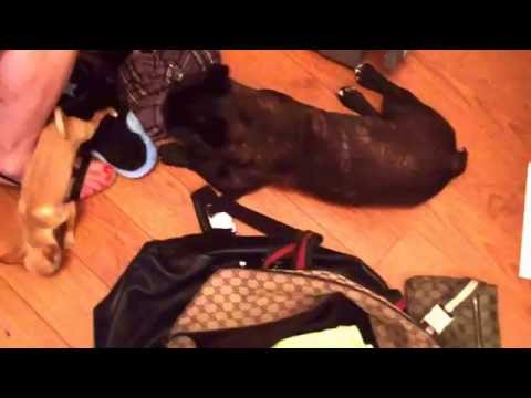 MURPHY the French Bulldog with Jackson the teacup chihuahua (music: dirty talk by Wynter Gordon)