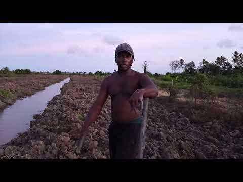 Banks country (GUYANA). farming in the Nabaclis backdam part 4.