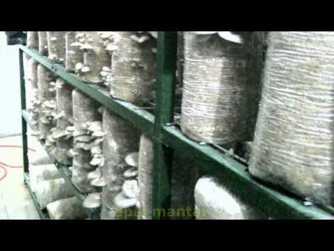 Kayın Mantarı - İstiridye Mantarı - Kavak-Yaprak Mantarı - Oyster Mushroom - (apel mantar) 2