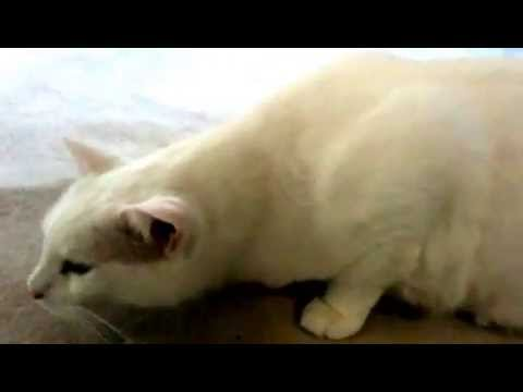 Cat Asthma Attack -- what to look for in your kitty