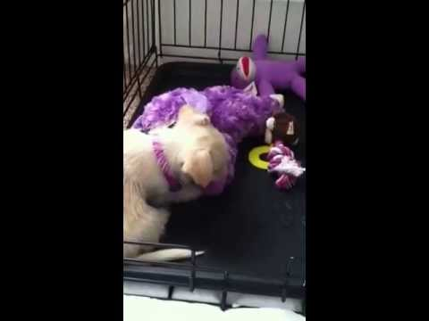 Bichon Frise Chihuahua Mix Playing With Her Toys