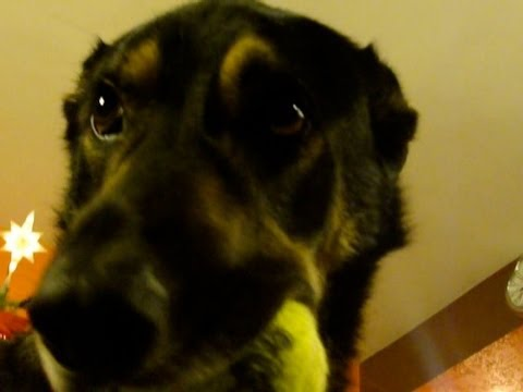 Smart Dogs - Best of Dogs Compilation Video 2013 : = German Shepherds KIA and LOBO = Video clips of Funny, Smart, Talking, Howling, Showing Teeth, Smiling, Playing with A...