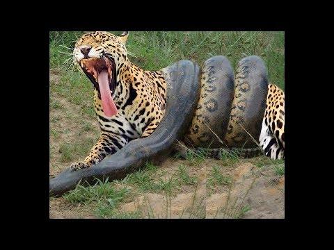 蟒蛇VS老虎真正的戰鬥,誰勝誰負最後才知道!