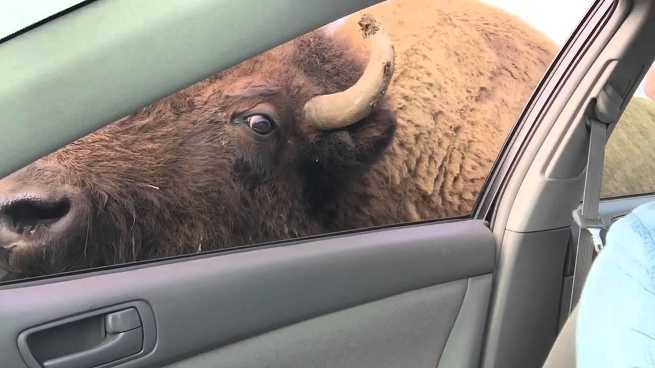 Kad ti lama jede iz usta, a bizon te lizne
