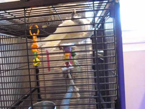 Very well tamed baby goffin cockatoo for sale