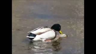 Ducks Mating: Lighthearted Look at  Mallard mating, 4 Studs & 1 Dud; featuring an all time great