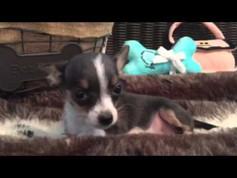 Blue Petite, pocket sized Chihuahua puppy