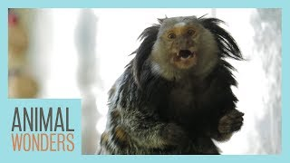 Mimi The Marmoset's Morning Routine by Animal Wonders