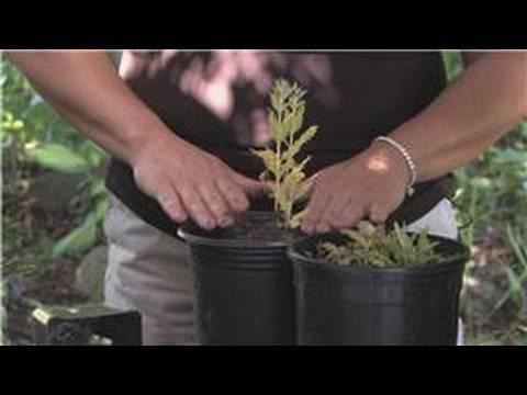 Flower Gardening : How to Grow White Sage