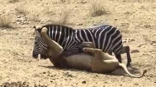 zebra aslanı isırdı