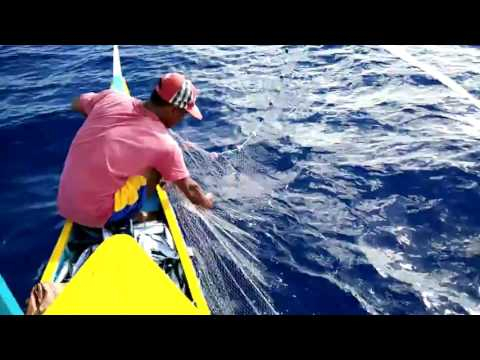 Abuleg,dinalungan,aurora Fisherman Captures The Moment He Is Attacked By An Angry Giant Blue Marlin.