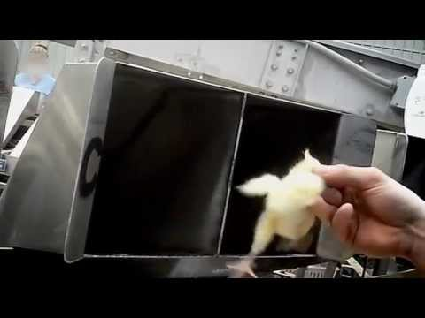 Pulcini tritati e bolliti vivi: il video choc sulla produzione delle uova
