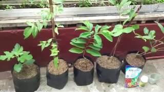 Video Cara pemupukan agar tanaman tabulampot cepat berbuah MP3, 3GP, MP4, WEBM, AVI, FLV September 2018