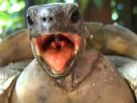 turtle sex video Nov 2015  Scientists have for the first time determined the ratio of males to females in a wild  foraging group of green turtles in the Eastern Pacific, which.