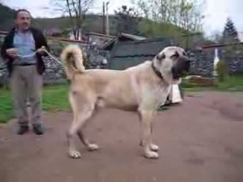 KANGAL - The Strongest Dog of the world The Kurdish sehpherd Dog KANGAL The Biggest Enemy of Wolves,Jackal,Jackasses and Bears Kurdish shepherd dog KANGAL from Sivas ...