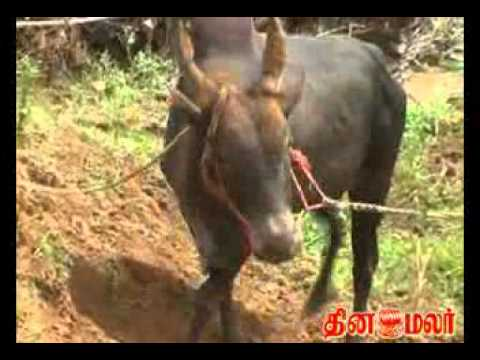 Dinamalar - Ancient Tamils Brave sport Jallikattu which is very famous in and around areas of Madurai. The Jallikkattu at Alanganallur and Palamedu fetch peoples from th...