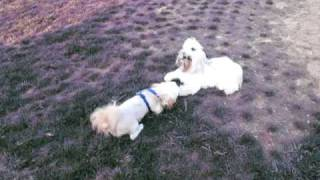 Chloe plays with Mr. Gizmo - Euless, Texas Dog Park