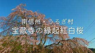 南信州うるぎ村・宝蔵寺の縁起紅白桜