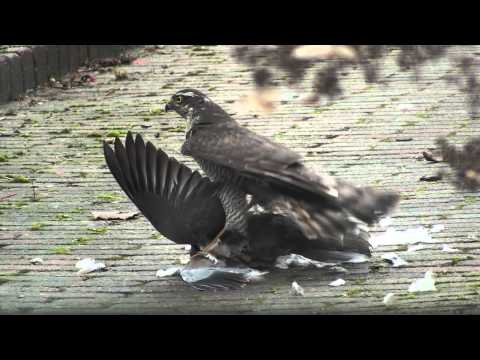 Sparrowhawk caught pigeon in garden *HD*