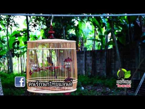 นกบินหลาดง - ติดตามรายการคนรักนกไทยแลนด์ ทาง CAT Channel ทุกวันอาทิตย์ 19.30-20.00น. ข้อมูลข่าวสาร...